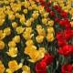 tulipani_Castiglione del Lago