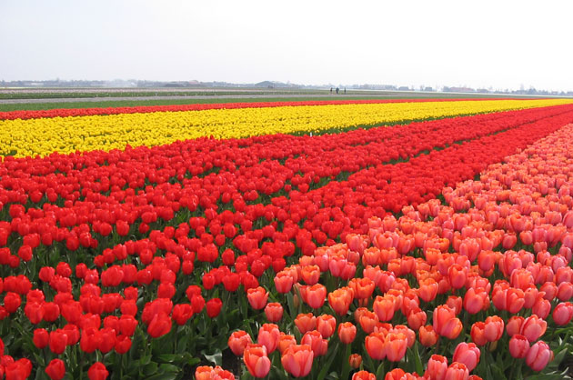Olanda-Bollenvelden-024