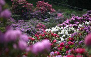 L'Oasi Zegna apre con la bella stagione con la straordinaria fioritura della conca dei rododendri